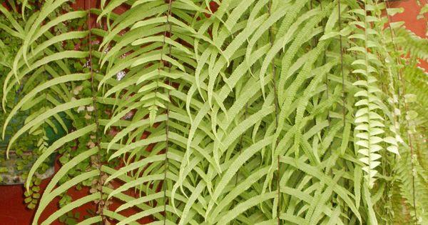 Helecho cortina plantas pinterest for Plantas ornamentales helechos