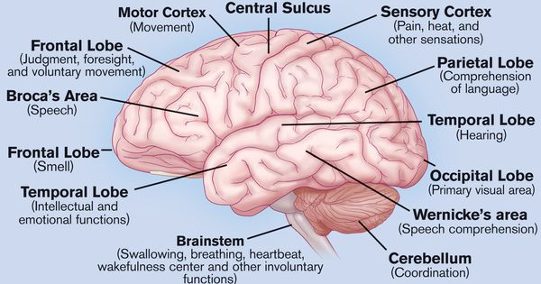 What do the different parts of your brain control... well ...