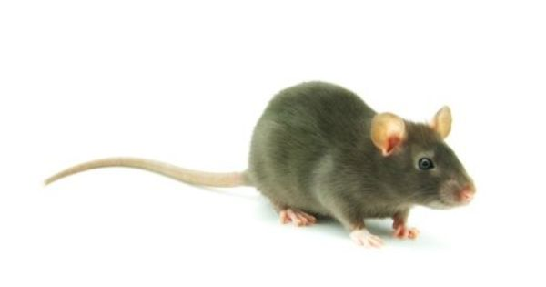 Follow These Steps To Eliminate Rats From Your Crawlspace Getting Rid Of Rats Crawlspace New Home Buyer