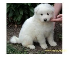 Samoyed Puppy Price In Delhi Samoyed Puppy For Sale In Delhi We Offer Extraordinary Quality Pups For Samoyed Puppy Samoyed Puppies For Sale Puppies