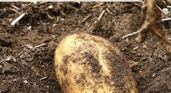 When is the perfect time to harvest potatoes in the garden? The