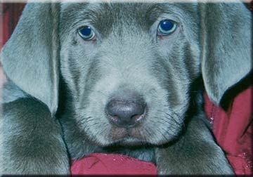 Silver Labs Puppies For Sale With Blue Eyes Pups Are Born With