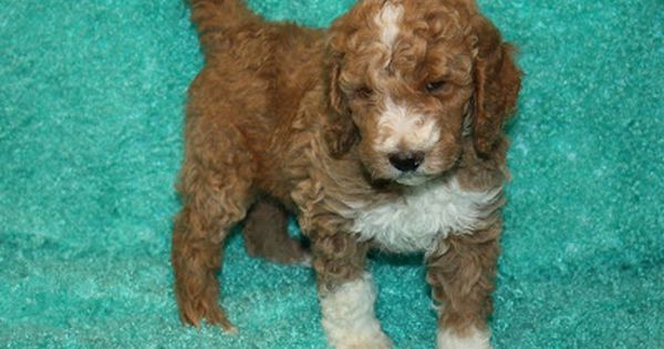 Parti Brindle Tri Color Red And Phantom Standard Poodle Puppies