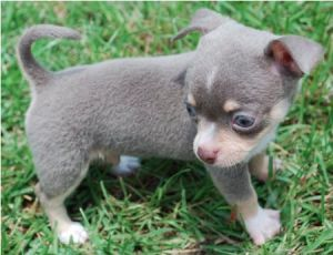 What Does A Blue Chihuahua Look Like Blue Chihuahua
