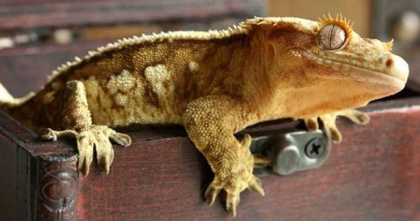Looking To Adopt A Crested Gecko Crested Gecko Gecko Food Pets