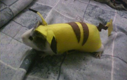 guinea-chu, I choose you! pokemon