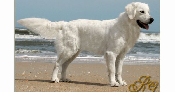 The English Golden Retriever Is An Amazing Breed Learn Its