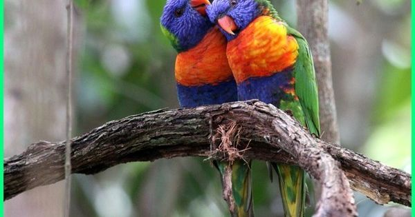 12 Jenis Burung Keren Khas Dari Australia Dunia Fauna Hewan Binatang Tumbuhan Hewan Binatang Burung