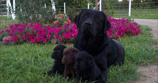 Welcome To Kokomo Labs Labrador Dog Labrador Retriever Dog Lab