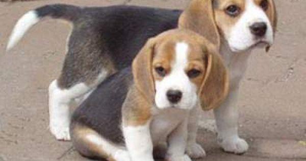Beagle Boys Rabbit Hunting 2013 2014 Season Highlights Beagle