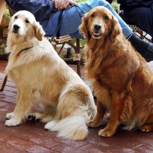Golden Retrievers Dark Golden Retriever Dogs Golden Retriever Best Dog Breeds