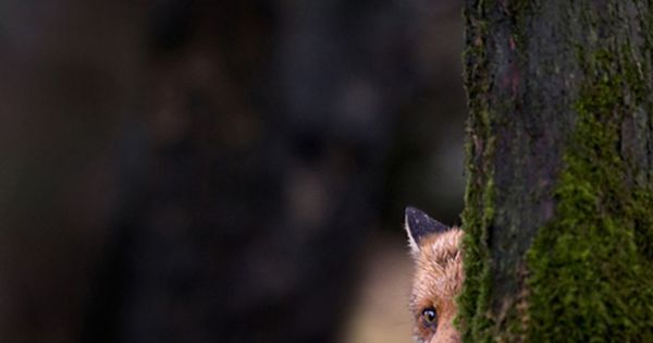 Shy Fox - peek a boo