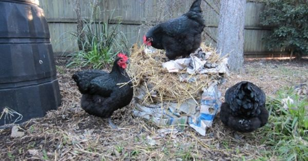 Australorp Black Young Hens Chickens Backyard Australorp Chicken Chickens For Sale