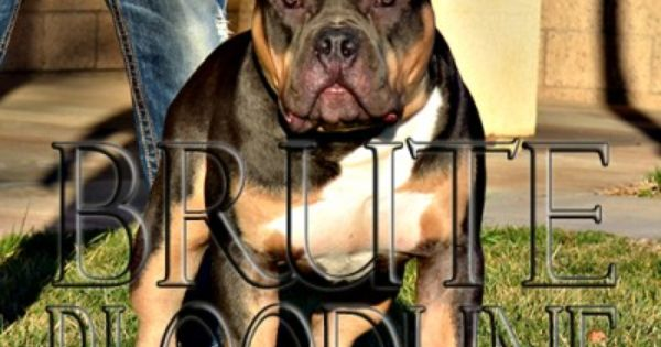 Tri Color Xl Bully Pitbulls And Puppies At Brute Dynasty Kennel Breeding Brute Bloodline Bully Pitbull P Pitbull Puppies For Sale Pitbull Puppies Bully Pitbull