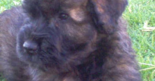 fluffy brindle bouvier | Furry things... | Pinterest | Dog ...