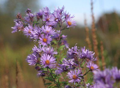 Wild Asters Medicinal Uses Purple Wildflowers Aster Flower Light Purple Flowers