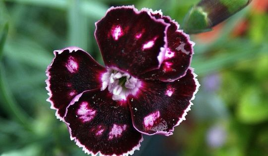 Carnations Pinks Dianthus Mystic Star In 2020 Mystic Stars Carnations Spring Plants