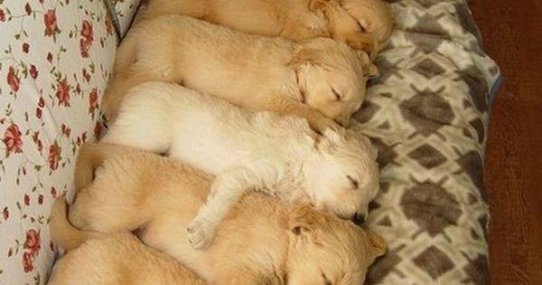 Baby golden retrievers puppies! Love!!