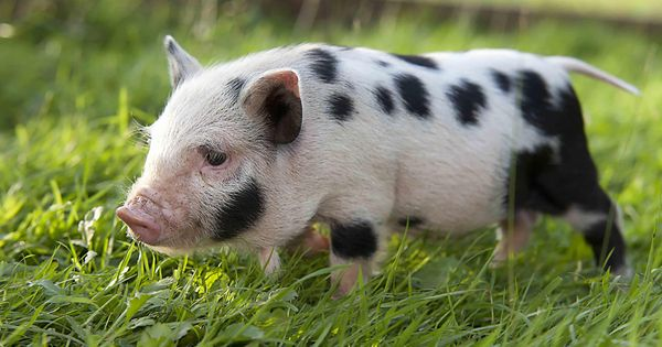 pigs | Micro/Mini Pigs For Sale | Pig House | Pinterest ...