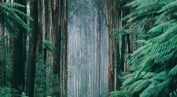 Black Spur Drive, Dandenongs, Victoria, AUSTRALIA. The trees are gum trees..... Often