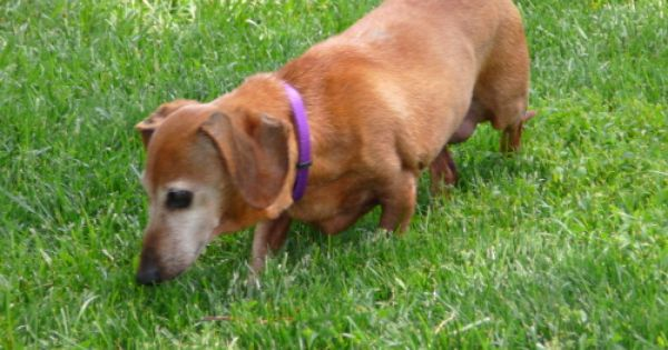 Forgotten Angels Rescue Offers A Program That Connects Seniors With Pets In Their Golden Years Who Need A Good Home To Adoptable Dachshund Dog Dog Help Dogs