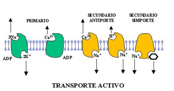 Biologia 4to Transporte Activo Y Pasivo Transporte Biologia