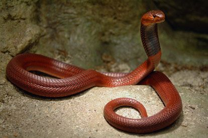 Guide To Snakes With Images Snake Beautiful Snakes Cobra