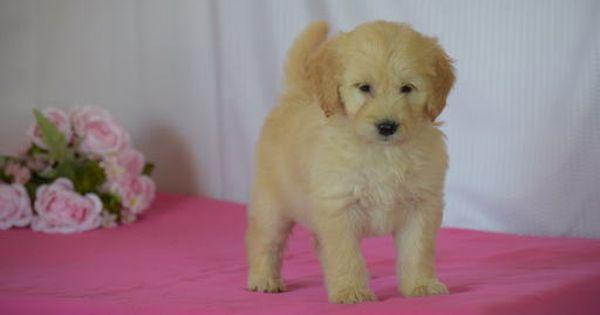 Litter Of 5 Golden Doodle Mix Puppies For Sale In Sugarcreek Oh Adn 36555 On Puppyfinder Com Gende Puppies For Sale Teddy Bear Puppies Goldendoodle Miniature