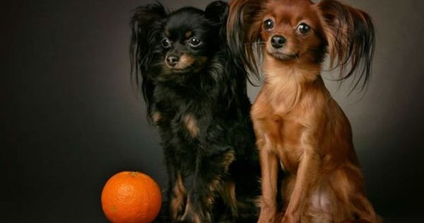 503 Service Unavailable Russian Toy Terrier Dog Breeds Dogs