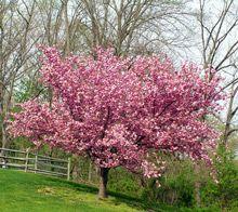 Kwanzan Cherry Tree Flowering Cherry Tree Ornamental Cherry Blossom Trees