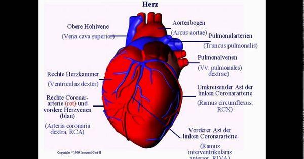 bilder herz anatomie bilder herz anatomie Das menschliche ...