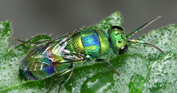 Jewel Wasp Wasp Bugs And Insects Insects