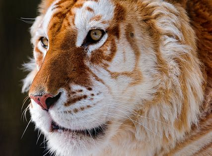 Portrait of the golden tiger by Tambako the Jaguar,: A golden tabby tiger is one with an extremely rare color variation caused by a recessive gene and is currently only found in captive tigers. Like the white tiger, it is a color form and not a separate s...