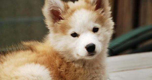 Siberian Husky Cross Golden Retriever Google Search Cute Animals Golden Retriever Husky Mix Husky Mix