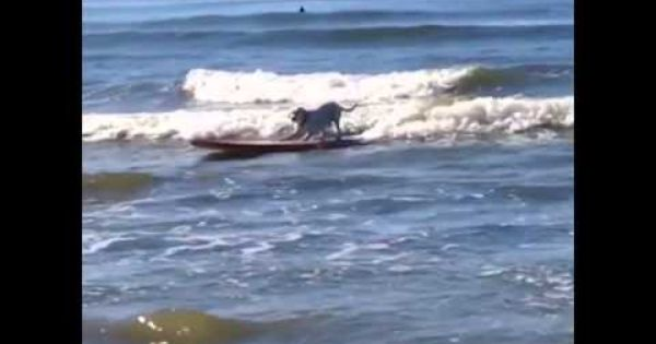 Ventura S Surf Dog Ventura California Video By Www