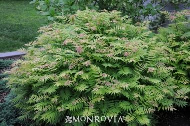 Vividly Colored Pink To Red Fern Like Spring Foliage Turns Chartreuse With Bronze Tips Then Solid Outdoor Landscaping Ideas Backyard Spirea Porch Landscaping
