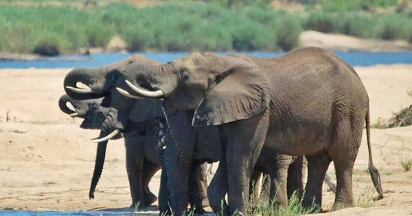 Next One S On Me Knp Majestic Animals African Bush Elephant Big Animals
