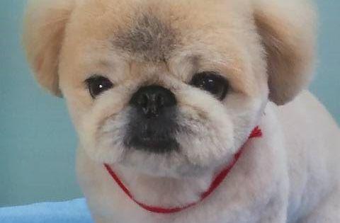 ペキニーズ ギャラリー 犬トリミング ペットホテル 船橋 下総中山 市川 犬の美容室メルモ ペキニーズ お犬様 可愛い犬