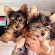 Yorkie Puppies Male And Female Yorkie Puppy For Sale Yorkie