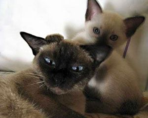 Siamese Cats Are Very Temperamental And Have Outgoing