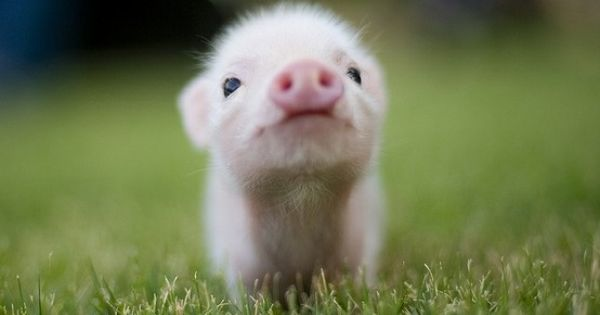 A baby piglet -- so cute it breaks my heart.