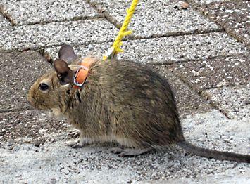 デグ Degu ーは昼行性それとも夜行性 タペタムはあるの 53話 デグー かわいいペット 可愛すぎる動物