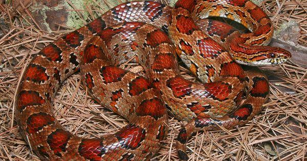 classic corn snake - photo #25
