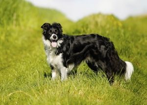 Characteristics Of The Australian Shepherd Border Collie Mix Collie Mix Australian Shepherd Border Collie Mix