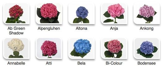 Hydrangeas By Hyperactive Farms Hydrangea Varieties Hydrangea Flower Guide