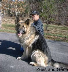 This Is Breeder Of This Dog Which I Love Large Long Coat Old Fashioned Style Giant German Shepherd Do German Shepherd Dogs Shepherd Dog