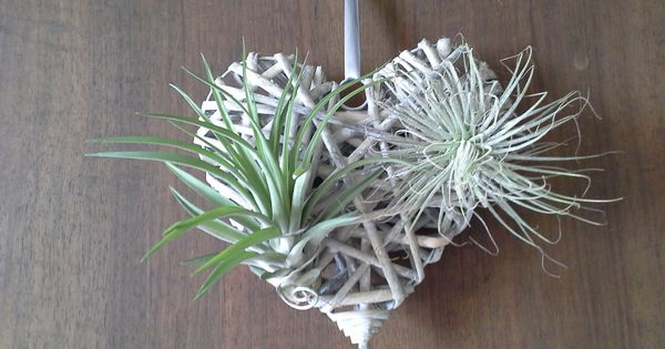 tillandsias fille de l 39 air plante suspendue coeur en osier gris plante a rienne d coration. Black Bedroom Furniture Sets. Home Design Ideas