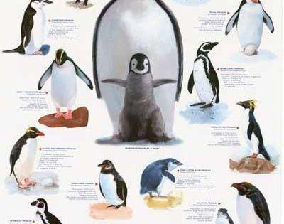A Great Poster Of Those Little Tuxedo Wearing Arctic Birds Penguins Perfect For Classrooms And Eskimos Fully Licensed Penguin Facts Penguins Penguin Chart