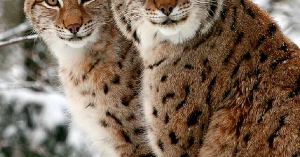 Lynx brothers posing and smiling for the photo shoot (photo by Picture