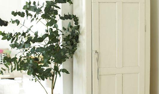 Indoor Eucalyptus Tree …